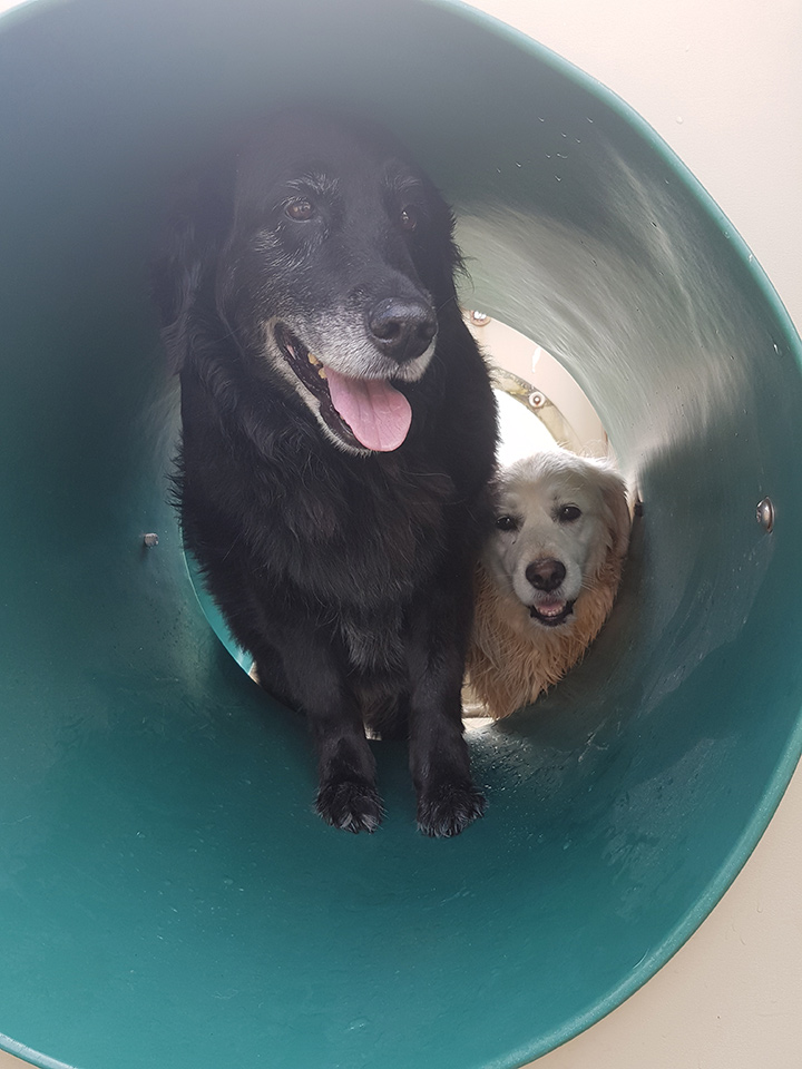 happy dogs playing in tunnel